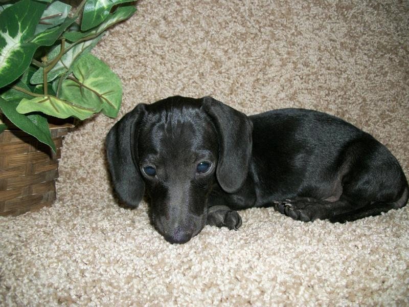 Solid Black Miniature Dachshund