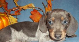 blue/tan Piebald MS Mini Dachshund Puppy
